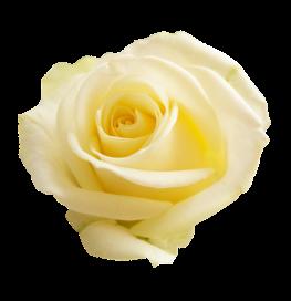 rose-3189881_1280
